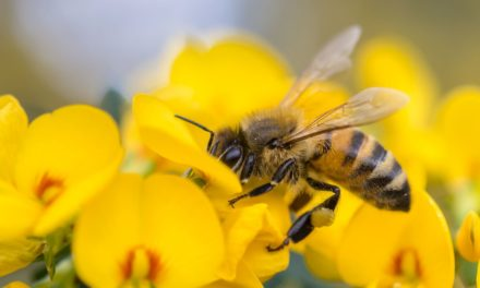 If bees disappeared man would only have four years left to live